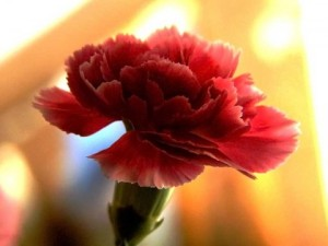 Carnation-4-480x360
