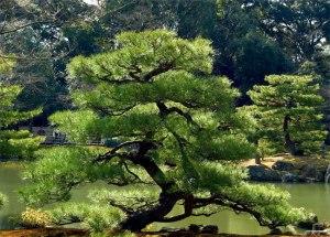 pine-tree-bonzai