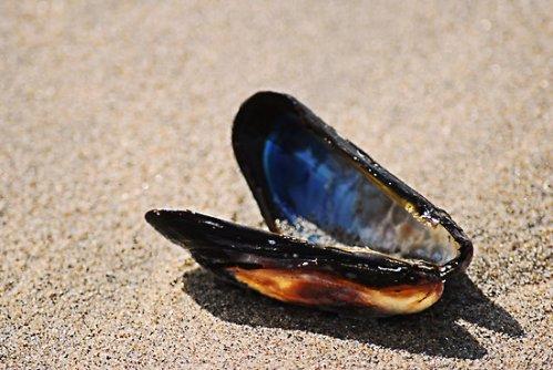 mussel butterfly