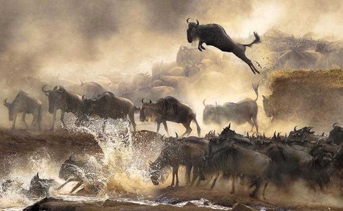 Wildebeest-airborne
