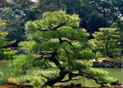 pine-tree-bonzai (2)