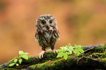 owlet on ground