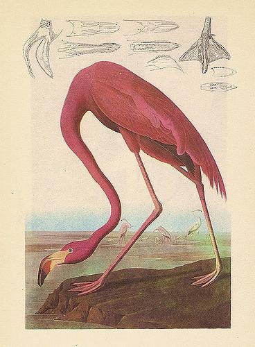 audubon flamingo